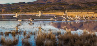 Sandhill Crane Panorama. Panoramic Composition of a Small Flock Of Sandhill Cranes Leaving Their Roost At Bosque del Apache National Wildlife Refuge, New Mexico Royalty Free Stock Images