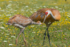 Sandhill Crane Parent and Young Stock Images