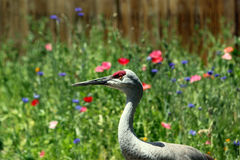 Sandhill Crane. This is a photograph of a Sandhill Crane Stock Images