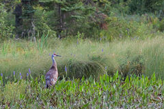 Sandhill Crane with Pickerelweed Royalty Free Stock Photo