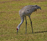 Sandhill Crane ...Poking Around Royalty Free Stock Photo