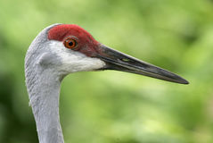 Sandhill Crane Portrait Royalty Free Stock Photography