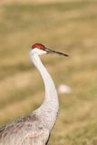 Sandhill Crane Royalty Free Stock Photo