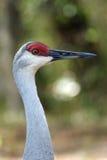 Sandhill crane portrait Stock Images