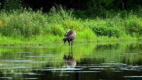 Sandhill Crane preening in a small pond stock video footage