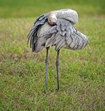 Sandhill Crane Preens Stock Photos