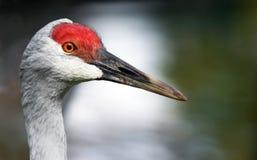 Sandhill crane profile Stock Image