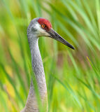 Sandhill Crane Profile Up Close - Green grass framed Stock Image