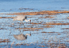 Sandhill crane with reflection Royalty Free Stock Image