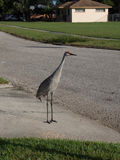 Sandhill Crane in a Residential Driveway Stock Photo