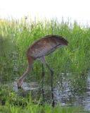 Sandhill crane in the river Stock Photo