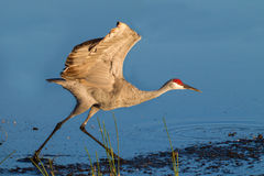 Sandhill Crane runs towards the rising morning sun Stock Photos