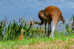 Sandhill crane with stock images