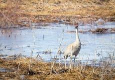 Sandhill Crane. A sandhill crane in the grass at Camas National Wildlife Refuge near Hamer, Idaho stock photography