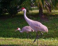 Sandhill crane. Sandhills cranes eating in a Floridian garden Royalty Free Stock Photography
