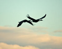 Sandhill Crane Silhouette Stock Photos