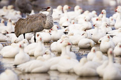Sandhill Crane and Snow Geese Royalty Free Stock Photos