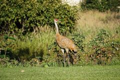 Sandhill crane in north America. Sandhill crane is species crane of North America royalty free stock photo