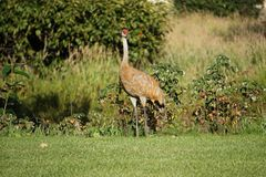 Sandhill crane in north America royalty free stock photography