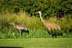 Sandhill crane in north America. Sandhill crane is species crane of North America stock images