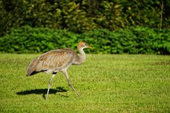 Sandhill crane in north America royalty free stock photos
