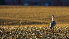 A sandhill crane is standing alone. stock photo