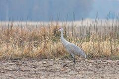 Sandhill Crane Struts Across a Field. A sandhill crane walks across a plowed field of corn royalty free stock photography