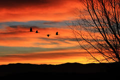 Sandhill Crane Sunrise. Sandhill Cranes flying in vibrant orange sunrise Royalty Free Stock Images