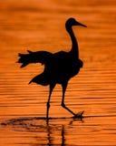 Sandhill crane at sunset Stock Photo