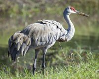 Sandhill Crane with Tail Fluffed Out Royalty Free Stock Image