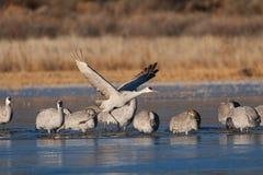 Sandhill crane Stock Image