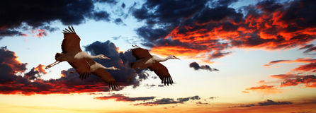 A Sandhill Crane Trio Flies at Sunset Stock Photo