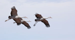 A Sandhill Crane Trio in the Pale Blue Royalty Free Stock Images