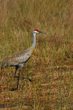 Sandhill Crane on the trot. The sandhill crane is easily identified by it's bright red head. It's habitat is usually fields and meadows but is often seen in royalty free stock photography