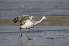 Sandhill crane Royalty Free Stock Image
