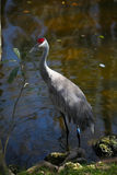 Sandhill Crane Wading Royalty Free Stock Photo