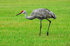 Sandhill Crane Walking Royalty Free Stock Photography
