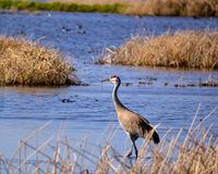 Sandhill Crane Royalty Free Stock Photos