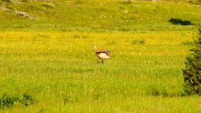 Sandhill Crane Wild Bird Couple Feeding Yellowstone National Park stock video