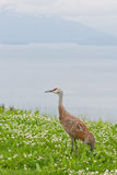 Sandhill crane wildlife Stock Photography