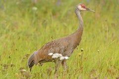 Sandhill Crane in a Wildlife Refuge Royalty Free Stock Photo