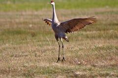 Sandhill Cranes Royalty Free Stock Image