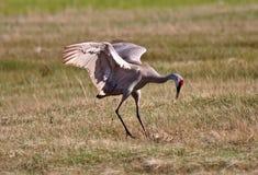 Sandhill Cranes Stock Images