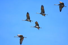Sandhill Cranes. Are a large migratory water fowl.  These birds are heading south for the winter Stock Images