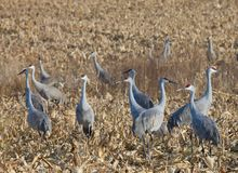 Sandhill Cranes Stock Photos