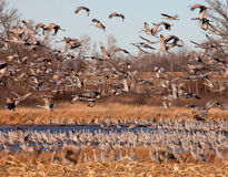 Sandhill Cranes Stock Photography