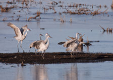 Sandhill Cranes Royalty Free Stock Photo