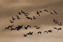 Sandhill Cranes Stock Photo