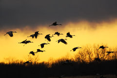 Free Sandhill Cranes At Sunset Stock Image - 15878261