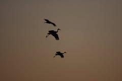Sandhill Cranes a aterragem no por do sol Fotos de Stock Royalty Free